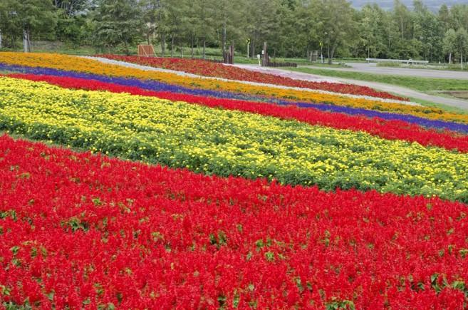ทุ่งดอกไม้สลับสีสุดอลังการ สวนงามไม่แพ้ที่ Furano