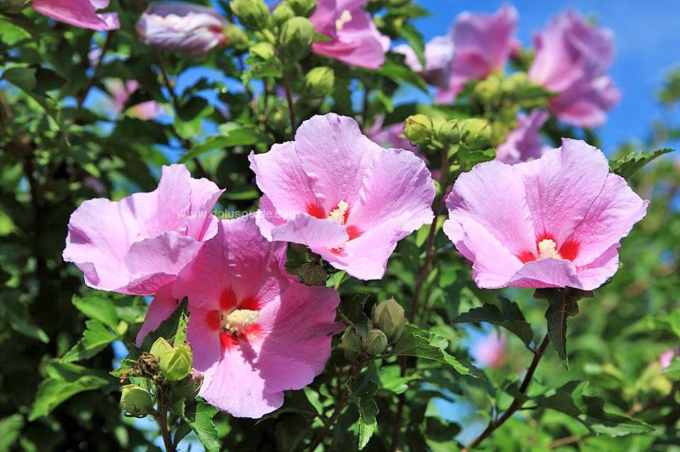 ดอกมูกุงฮวา (무궁화) หรือ Rose of Sharon เป็นดอกไม้ประจำชาติเกาหลี จุดเด่นของดุอกมูกุงฮวาคือ ทนต่อสภาพอากาศที่เลวร้ายและศัตรูพืชได้เป็นอย่างดี ซึ่งสะท้อนถึงความเป็นอมตะของประวัติศาสตร์ชาติเกาหลี