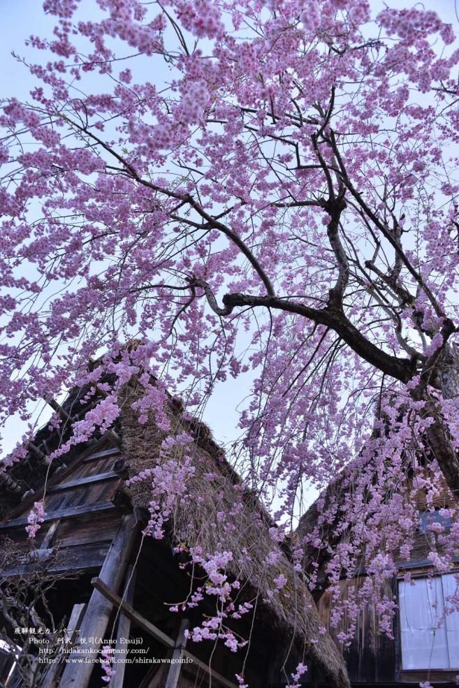 เที่ยวญี่ปุ่นชมซากุระที่ ชิราคาวาโกะ (Shirakawa-go) เมืองทาคายาม่า (Takayama) จังหวัดกิฟุ  (Gifu) ภูมิภาคจูบุ (Chubu)