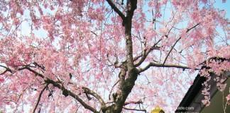 เที่ยวญี่ปุ่น สวนซุมิดะ เลียบเลาะริมน้ำ ชมซากุระบาน ณ ย่านอาสะกุสะ