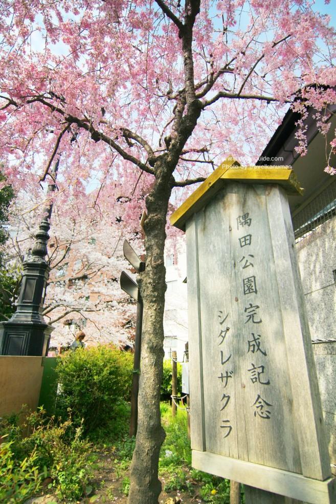 เที่ยวญี่ปุ่นชมดอกซากุระที่ สวนซุมิดะ (Sumida Park) เมืองโตเกียว (Tokyo) ภูมิภาคคันโต (Kanto)