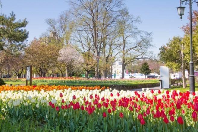สวนสวยใจกลางเมือง Asahikawa ในยามฤดูใบไม้ผลิสวนแห่งนี้จะเต็มไปด้วยดอกทิวลิปและซากุระ