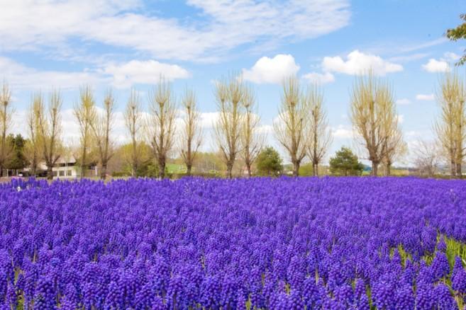 สวนสวยแห่งเมือง Furano กับดอกไม้สีม่วงนามว่า Grape Hyacinth