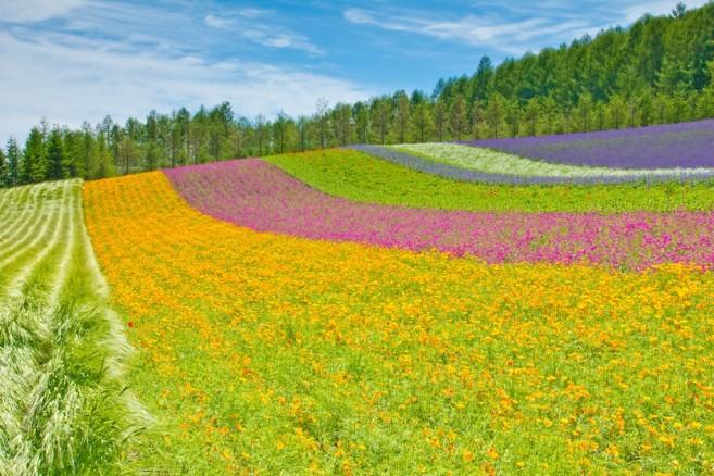 ภาพสวนดอกไม้อันเป็นเอกลักษณ์ของการท่องเที่ยวฮอกไกโด ก็คือ Tomita Farm เมือง Furano นี่ล่ะ