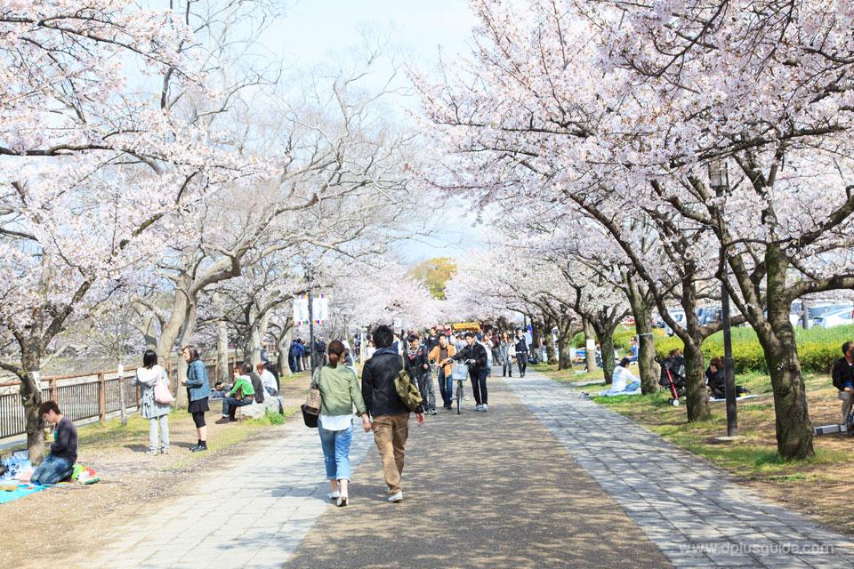 มารยาทควรรู้ ก่อนเที่ยวญี่ปุ่น : ภาคการชมซากุระญี่ปุ่น