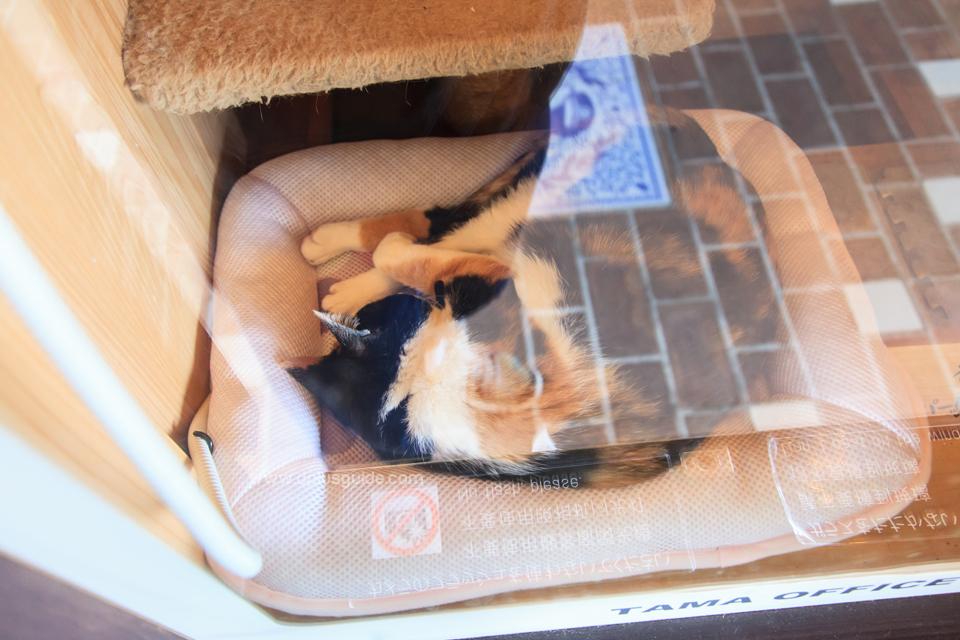 เจ้าเหมียวทามะนอนขดอยู่ในตะกร้า