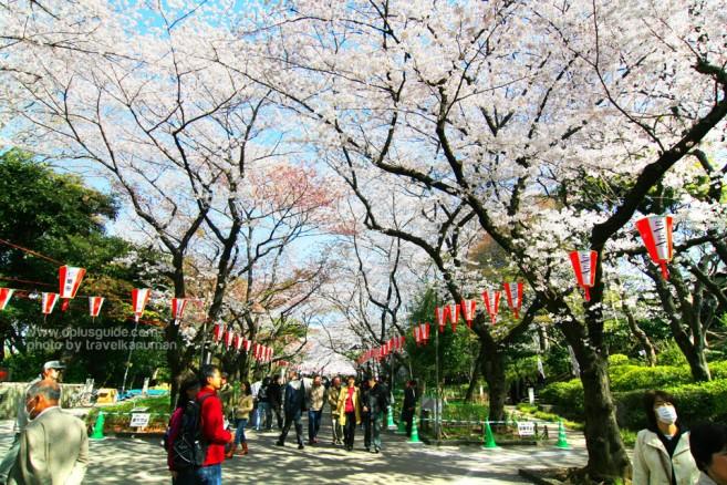 สถานที่เที่ยวเทศกาลชมดอกซากุระที่ญี่ปุ่น