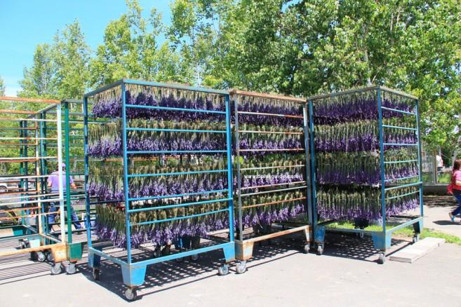 ดอกลาเวนเดอร์ในฟาร์ม นำไปเข้ากระบวนการผลิตเป็นผลิตภัณฑ์จากดอกลาเวนเดอร์