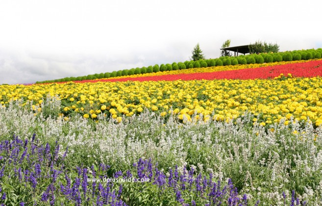 Kanno Farm เที่ยวฮอกไกโดชมสวนดอกไม้เส้นทาง Panorama Road เมือง Biei