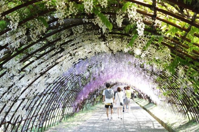 เที่ยวญี่ปุ่น Kawachi Fuji Garden ชมอุโมงค์ดอกวิสเตียเรีย (Wisteria) ที่่ฟุกุโอกะ