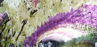 อุโมงค์ดอกวิสเตียเรีย (Wisteria) ที่ Kawachi Fuji Garden