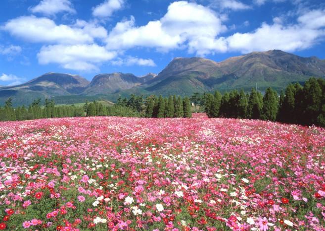 เที่ยวญี่ปุ่นชมทุ่งดอกไม้สวย ที่สวนดอกไม้คุจุ (Kuju Flower Park) จังหวัด Oita ภูมิภาค Kyushu