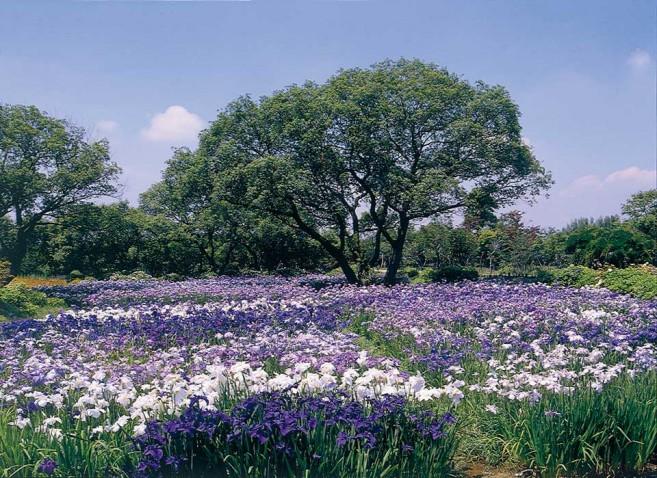 เที่ยวญี่ปุ่น สวนดอกไม้อะชิคากะ (Ashikaga Flower Park) ชมดอกวิสเตียเรีย (Wisteria)