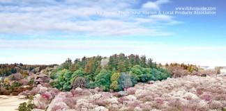 เที่ยวญี่ปุ่น ชมดอกบ๊วย งานเทศกาลชมดอกพลัมมิโตะ (Mito Plum Festival) 20 ก.พ. - 31 มี.ค.