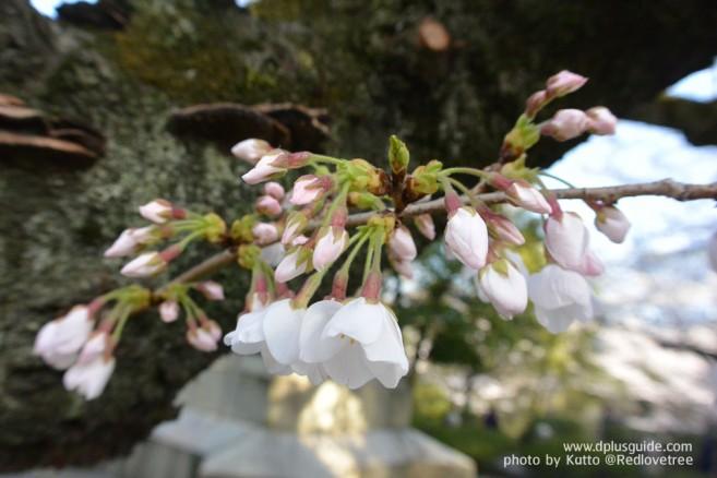 ชมดอกซากุระญี่ปุ่น ที่สวนจิโดริกะฟุจิ (Chidorigafuchi) โตเกียว