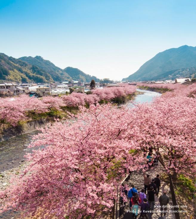 แนวของต้นซากุระริมแม่น้ำ Kawazu