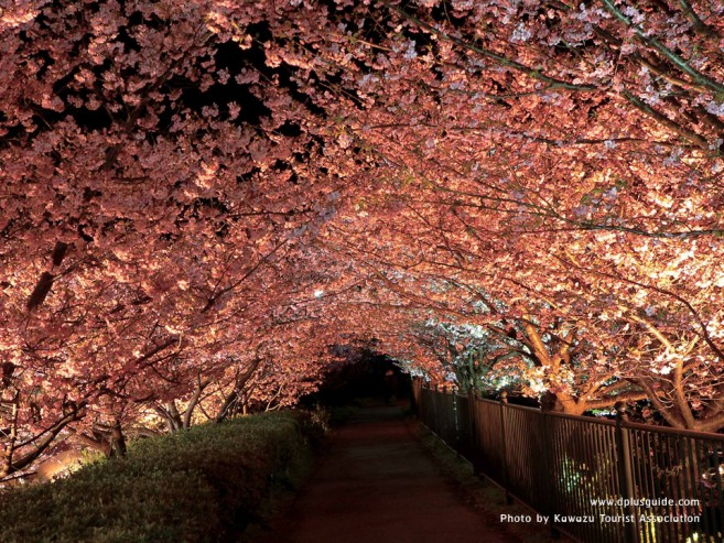 เที่ยวญี่ปุ่น ชมซากุระก่อนใคร ที่แหล่งชมซากุระริมน้ำ เมือง Kawazu จ. Shizuoka