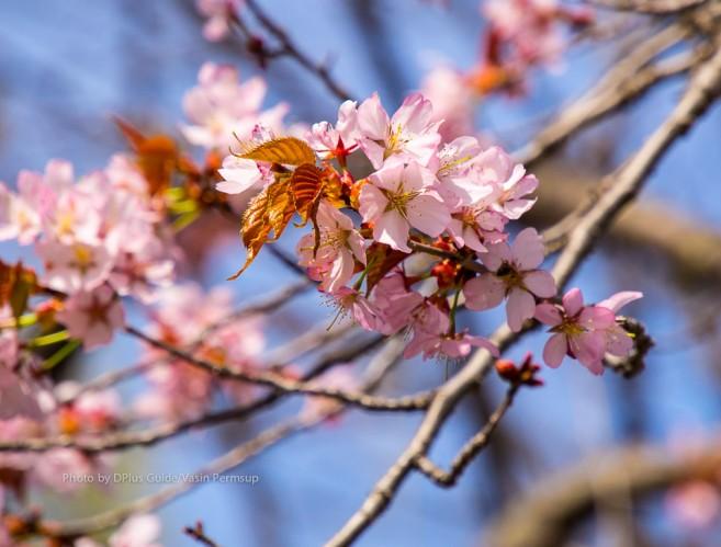 เที่ยวญี่ปุ่นชมซากุระที่ สวน Ikoigamori Park ที่เมืองบิเอ (Biei) ภูมิภาคฮอกไกโด (Hokkaido)