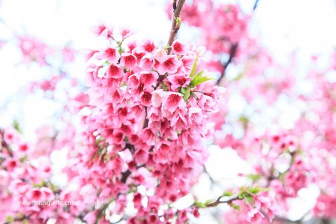 เที่ยวเทศกาลชมดอกซากุระญี่ปุ่น ที่ปราสาทนาคิจิน (Nakijin) โอกินาวา (Okinawa)