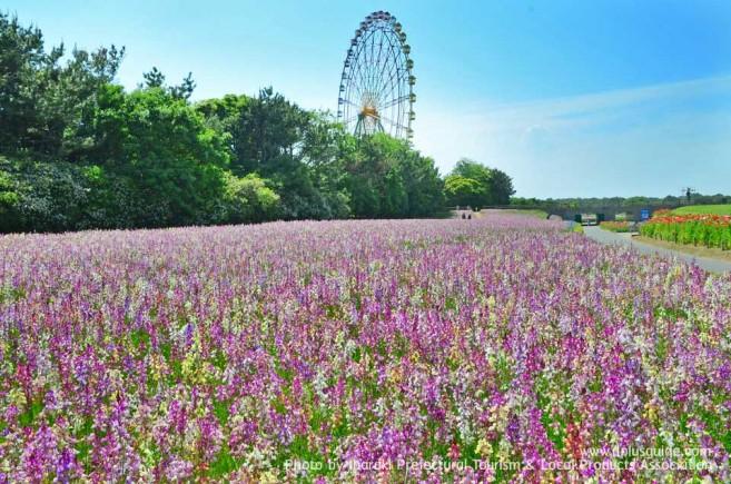 เที่ยวญี่ปุ่น สวนฮิตาชิ ซีไซด์ (Hitachi Seaside Park) ชมทุ่งดอกไม้ริมทะเล