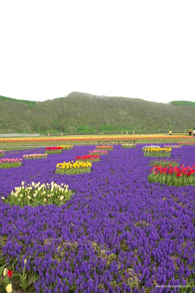 เที่ยวฮอกไกโดชมทุ่งดอกทิวลิป ที่สวนคะมิยูเบทสึ (Kamiyubetsu Park)