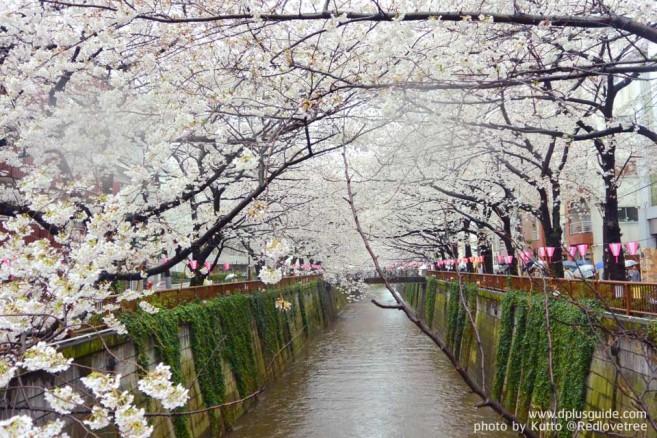 10 สถานที่ชมซากุระญี่ปุ่น ในโตเกียวและรอบๆ