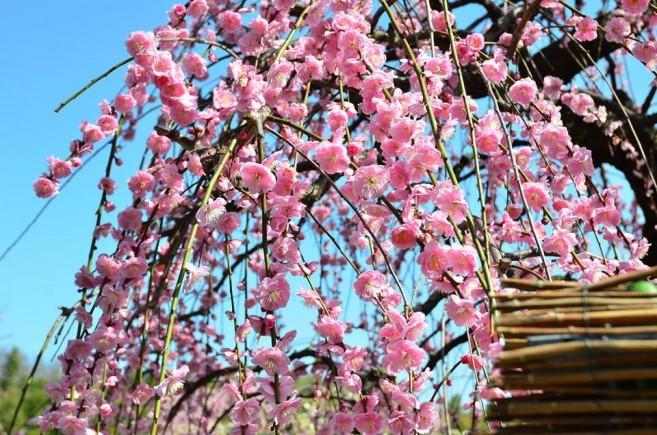 ชมซากุระและต้นพลัม (ดอกบ๊วย) บาน ที่ปราสาทนาโงย่า