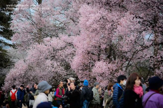 สวนชินจุกุเกียวเอน (Shinjuku Gyoen) จุดชมดอกซากุระสุดสวยในโตเกียว