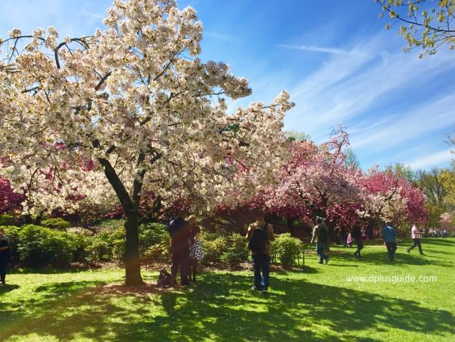 เที่ยวนิวยอร์ก ชมซากุระที่สวน Brooklyn Botanical Garden