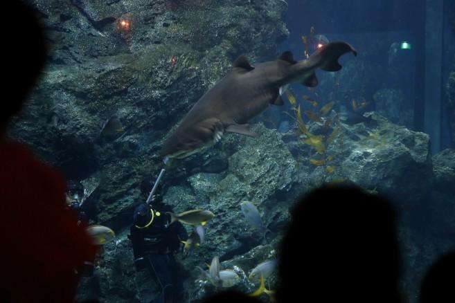Shark Feeding Show (6)