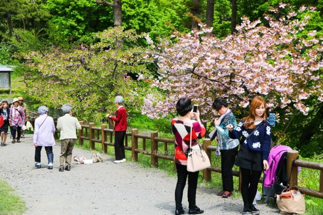 เที่ยวฮอกไกโด ชมปราสาท Matsumae ยามดอกซากุระผลิบาน