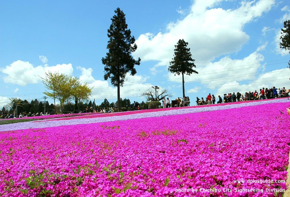 เที่ยวญี่ปุ่น สนามหญ้าดอกซากุระ ณ สวนจิจิบุ ฮิสึจิยะมะ (Chichibu Hitsujiyama Park)