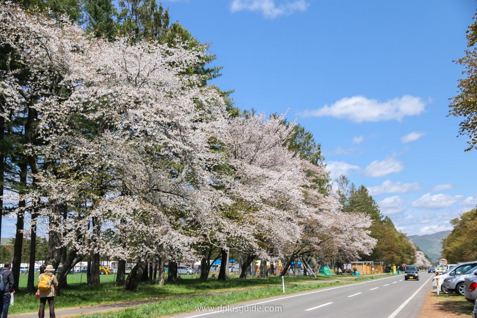 จุดชมวิว Sakura Namiki ดูดอกซากุระบานสะพรั่งที่ฮอกไกโด