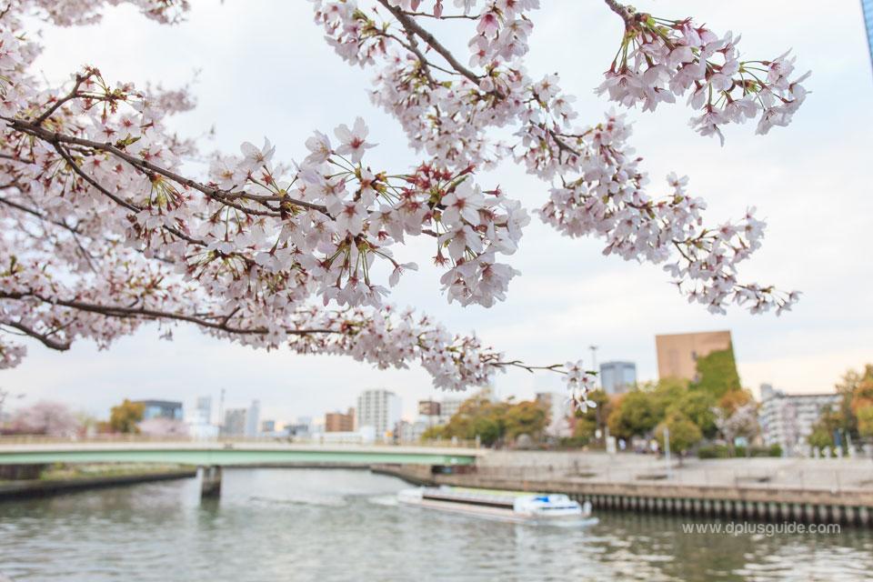 แม่นํ้าไดนิ เนยากาวา (Daini Neyagawa) ที่ไหลลงสู่แม่นํ้าเนยากาวาตลอดแนวทางเดินริมคลองไปจนถึงปากแม่นํ้ามีต้นซากุระเรียงราย เป็นจุดชมดอกซากุระที่สวยงามอีกแห่งหนึ่ง