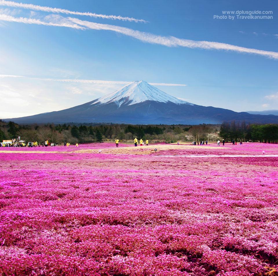 เที่ยวญี่ปุ่นเทศกาลดอกชิบะซากุระ (Fuji Shibazakura Festival) ที่ภูเขาไฟฟูจิ