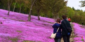 เที่ยวทุ่งพิงค์มอส (Shibazakura) ที่สวน Takinoue Park ชมพูกันให้สะใจ