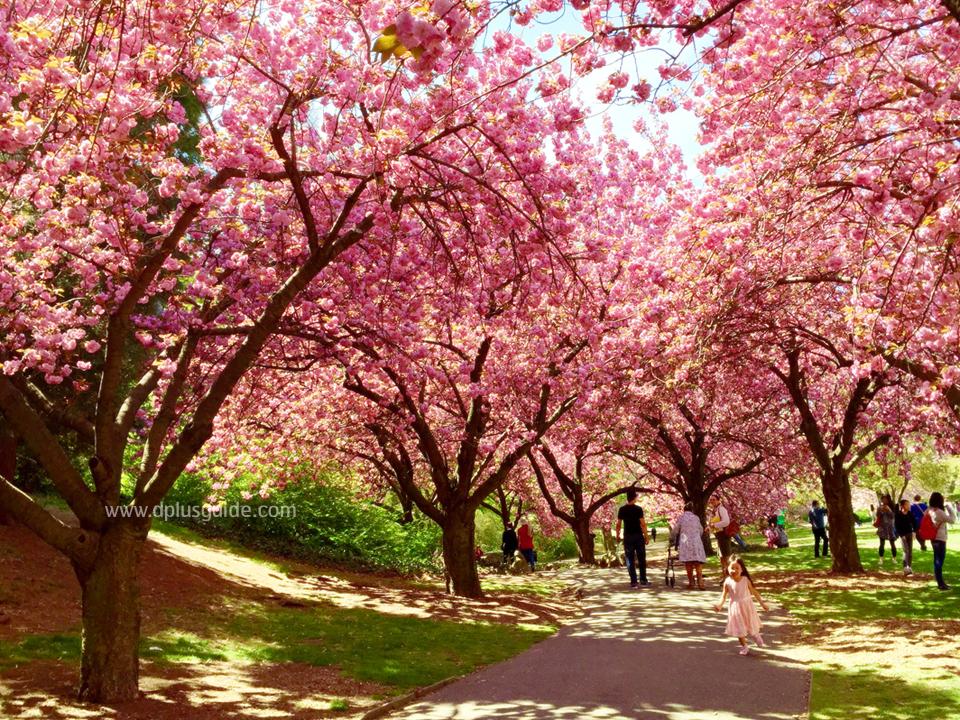 เที่ยวนิวยอร์ก ชมซากุระที่สวน Brookyn Botanic Garden