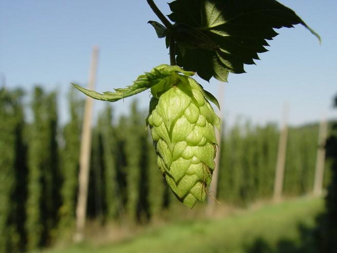 ดอกฮอปส์ ที่มาของรสขมในเบียร์ [credit Wikimedia Commons - CC BY 2.5]