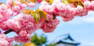 เที่ยวฮอกไกโด ชมด้านในปราสาท Matsumae ยามดอกซากุระผลิบาน