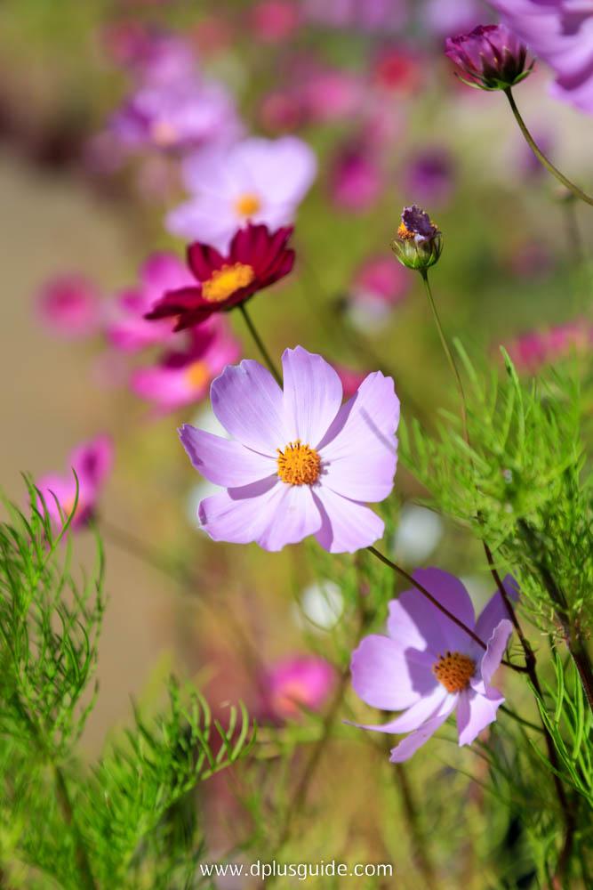 ดอกคอสมอสในสวน Takio Suzuran Park