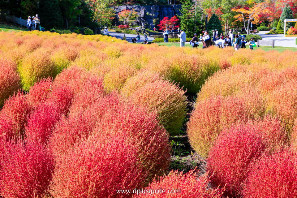พุ่มดอกโคเชีย เปลี่ยนสีในฤดูใบไม้ร่วง