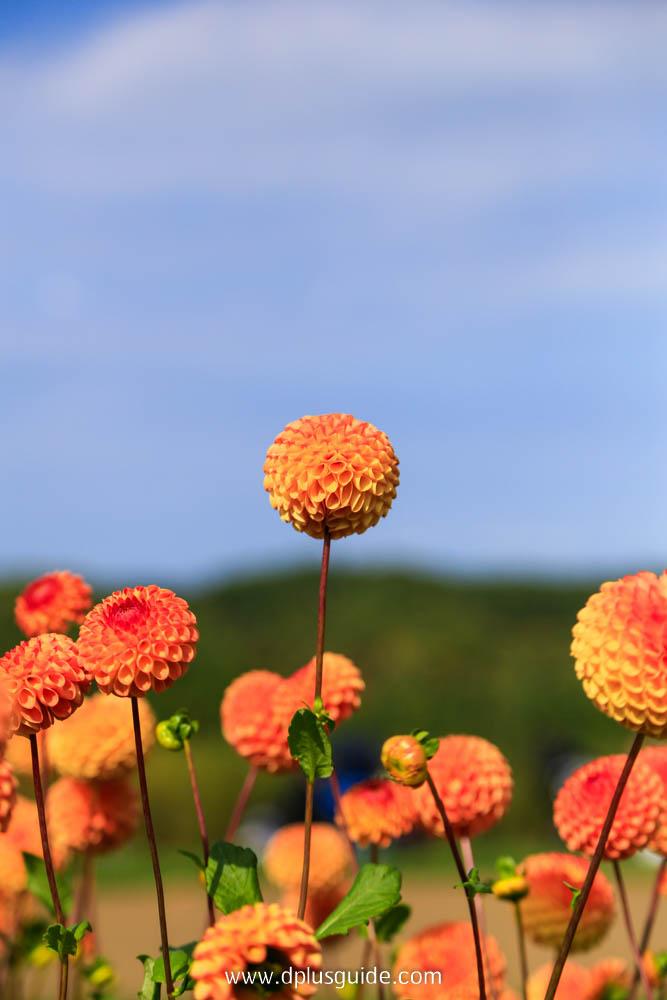 ดอกรักเร่ ภายในสวน Takino Suzuran