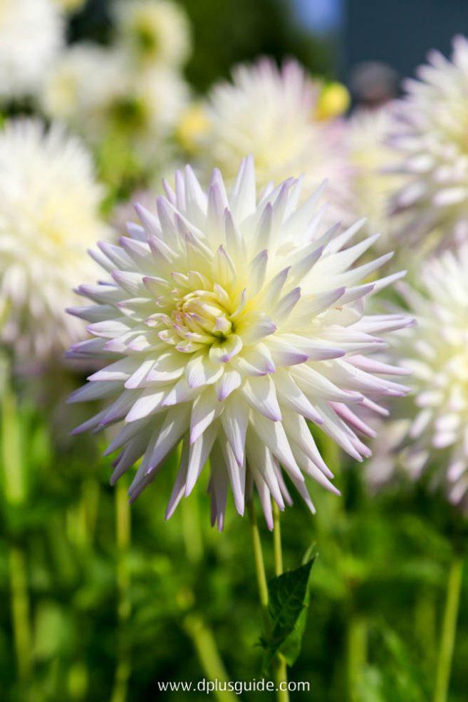 ดอกรักเร่ หรือดอก dahlia สีขาวในสวน Takino Suzuran