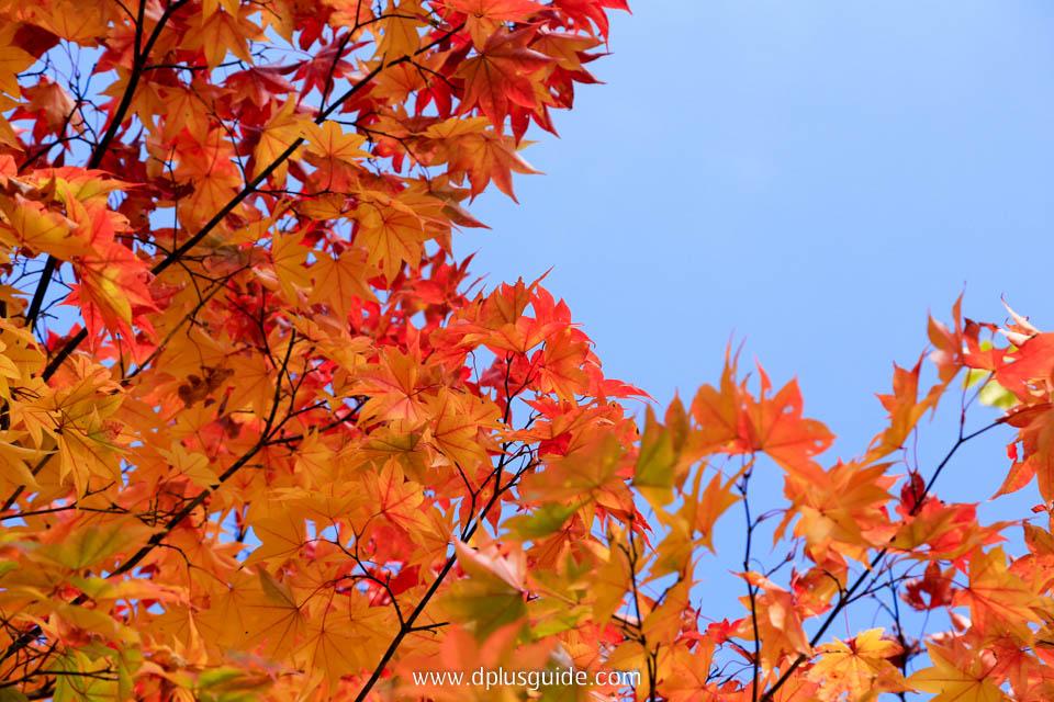 ใบไม้เปลี่ยนสีในสวน Takino Suzuran