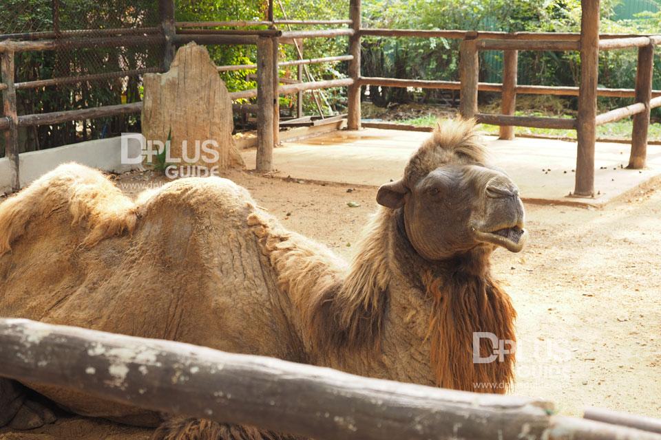 อูฐสองโหนก สวนสัตว์ดุสิต (Dusit Zoo)