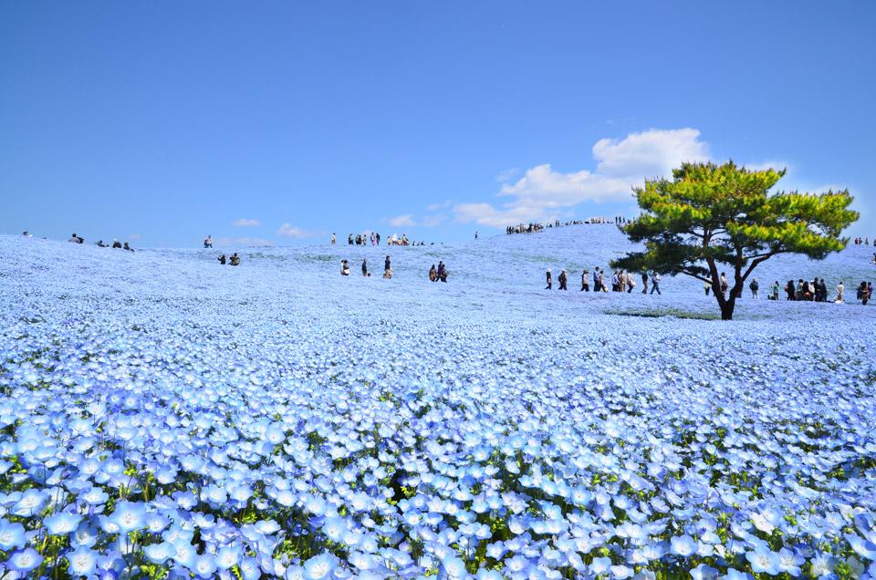 ฮิตาชิ ซีไซต์ พาร์ก (Hitachi Seaside Park)