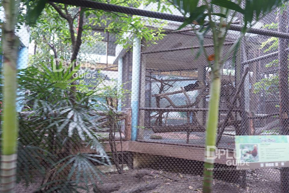 ไก่ฟ้าสีทอง สวนสัตว์ดุสิต (Dusit Zoo)