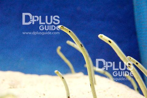 Spotted garden eel ปลาไหลตัวเล็กเท่าปากกา ที่ พิพิธภัณฑ์สัตว์น้ำAquarium Umitamago