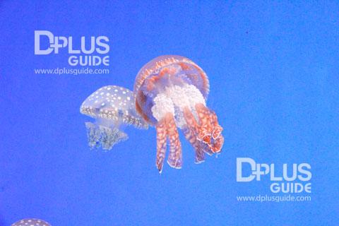 Papuan Jellyfish แมงกระพรุนหน้าตาคล้ายเห็ด ที่ พิพิธภัณฑ์สัตว์น้ำAquarium Umitamago