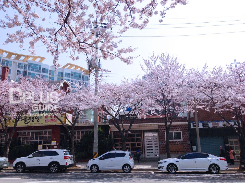 ตามถนนจะปลูกต้นพ็อตกต เป็ต้นไม้หลักของเมืองจินแฮ